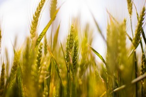 nature-field-agriculture-cereals (2)